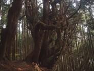 三浦峠の大きな木
